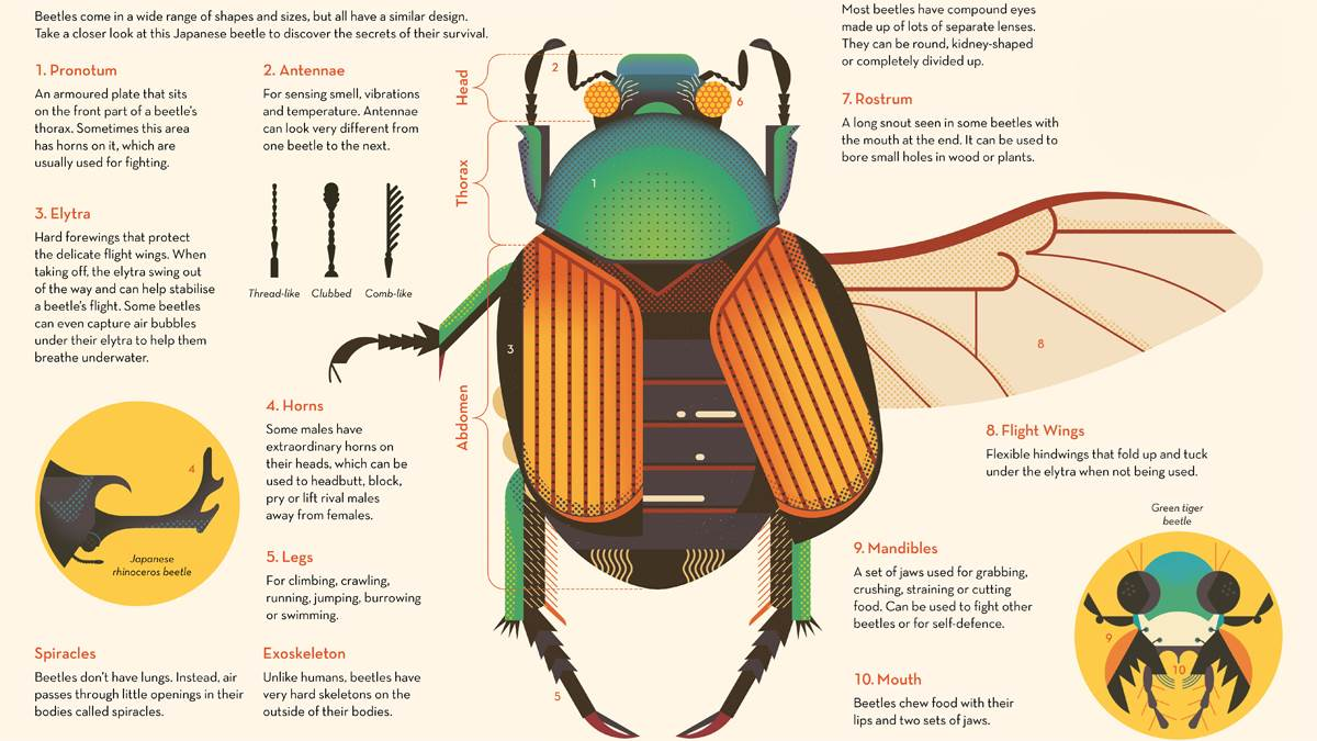 Beetle Body Parts